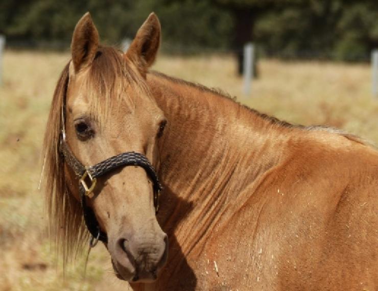 caballo perla